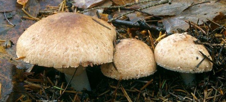 Молодые грибочки выглядят довольно аппетитно